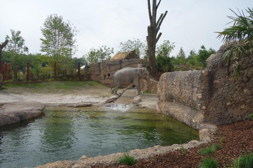 Elefant im neuen Elefantenpark im Zoo Zürich